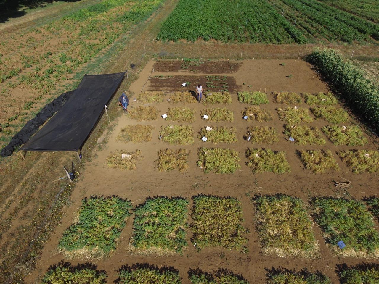Ensayos comparativos del cultivo agroecológico de lentejas y garbanzos en la Estación Experimental Agropecuaria Austral de la UACh